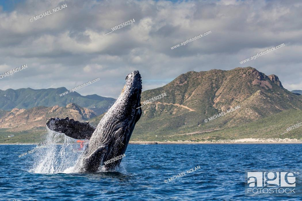 Stock Photo: Adult humpback whale (Megaptera novaeangliae), breaching in the shallow waters of Cabo Pulmo, Baja California Sur, Mexico, North America.