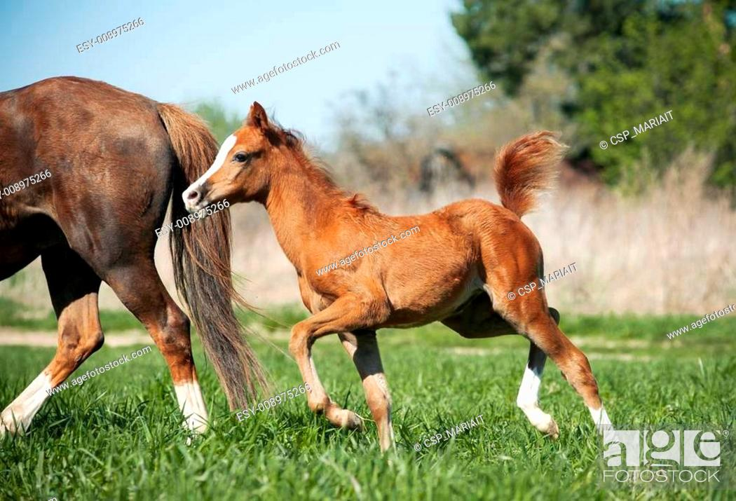 Stock Photo: foal running to for mother.