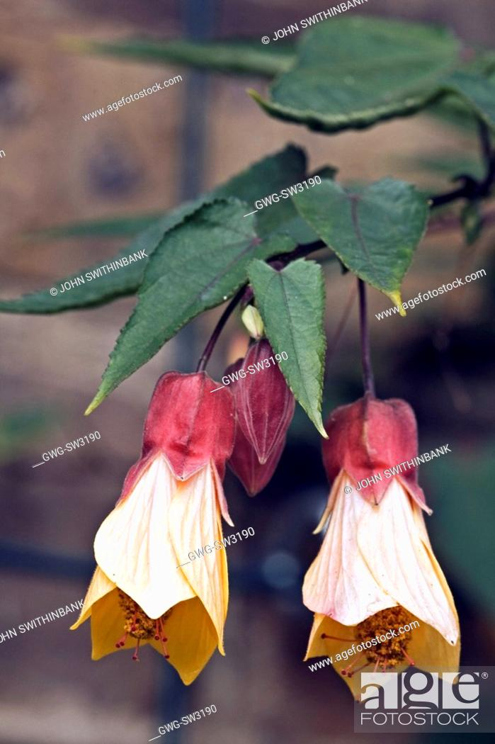 Abutilon Cynthia Pike Stock Photo Picture And Rights Managed