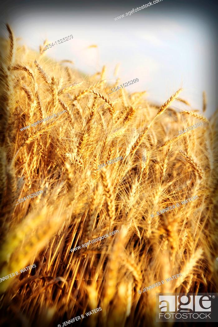 Stock Photo: Barley ripening in a field in Lewiston, Idaho, USA.