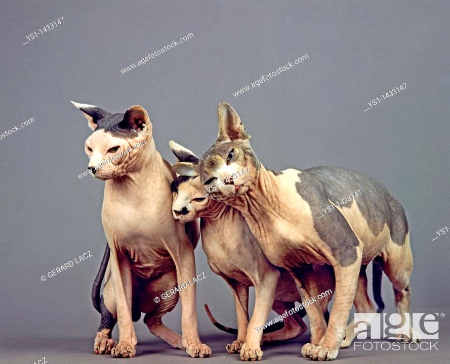 Stock Photo: SPHYNX DOMESTIC CAT, CAT BREED WITH NO HAIR, GROUP AGAINST GREY BACKGROUND.