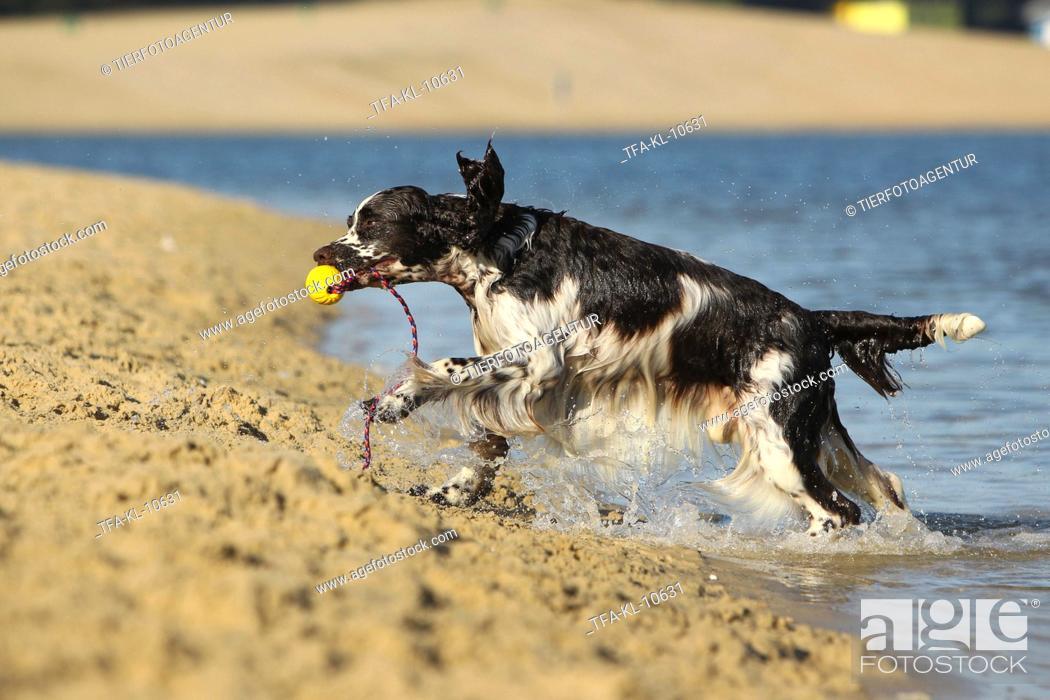 Stock Photo: playing English Springer Spaniel.