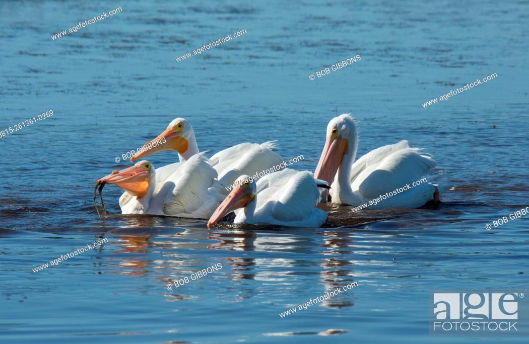 Stock Photo: American White Pelican Pelecanus erythrorhynchos; group feeding co-operatively. Florida.