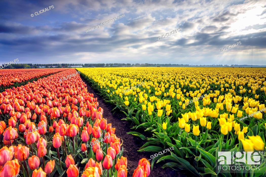 Stock Photo: Spring clouds and rays of sun over fields of multicolored tulips, Schermerhorn, Alkmaar, North Holland, Netherlands, Europe.