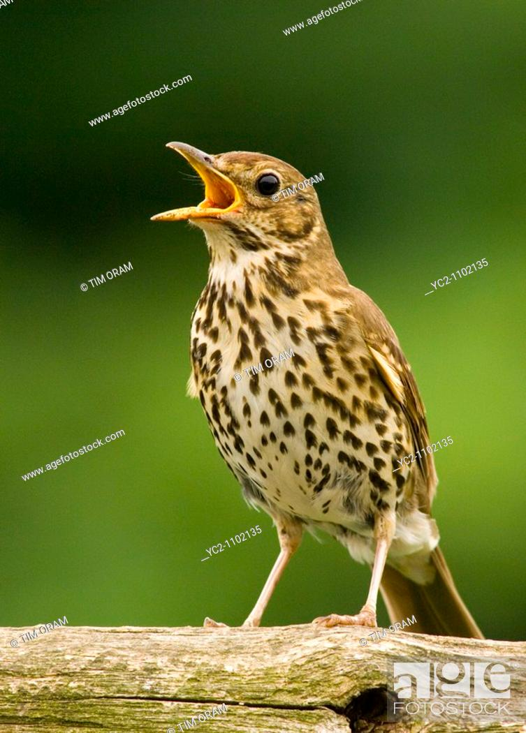 Stock Photo: A close up bird portrait of a song thrush singing turdus philomelos.