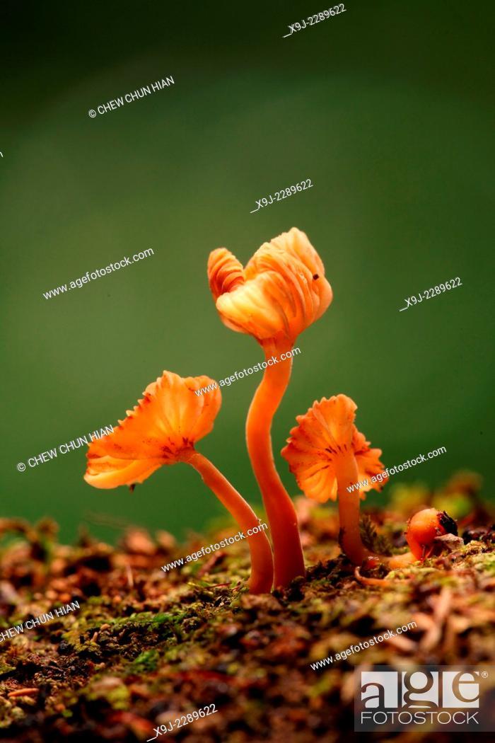Stock Photo: Mushroom, Fungi, on tree trunk, borneo.