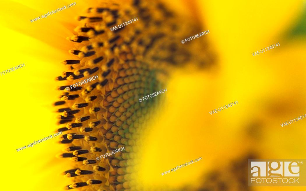 Stock Photo: helianthus, beaming, calf, bright, blitheful, Lower Austria, austria.