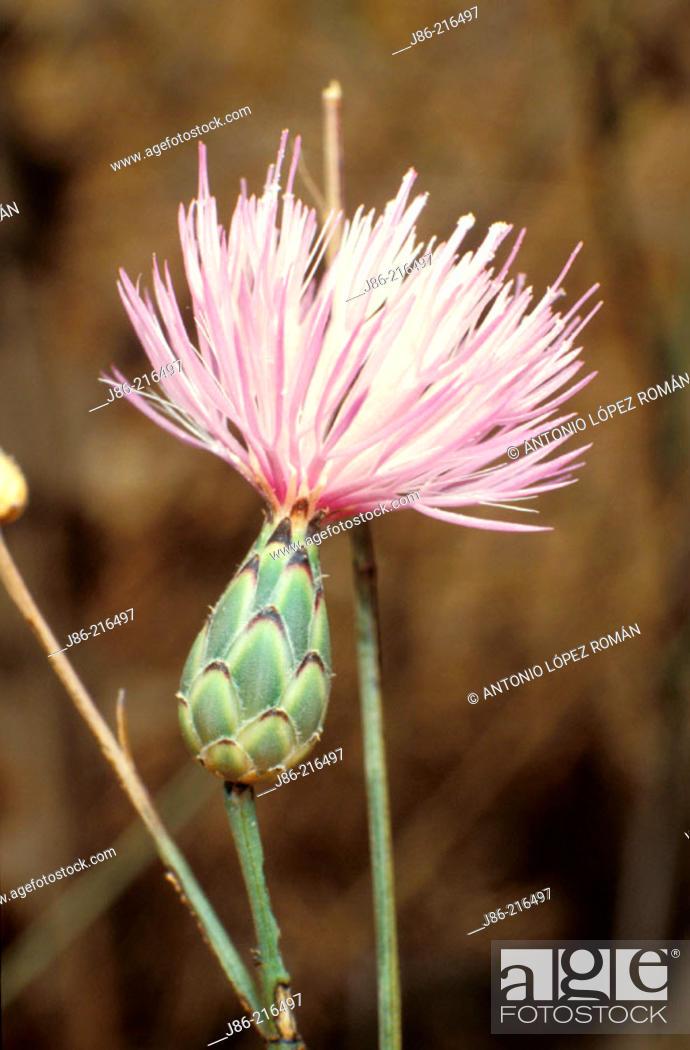 Stock Photo: Flower (Mantisalca salmantica).