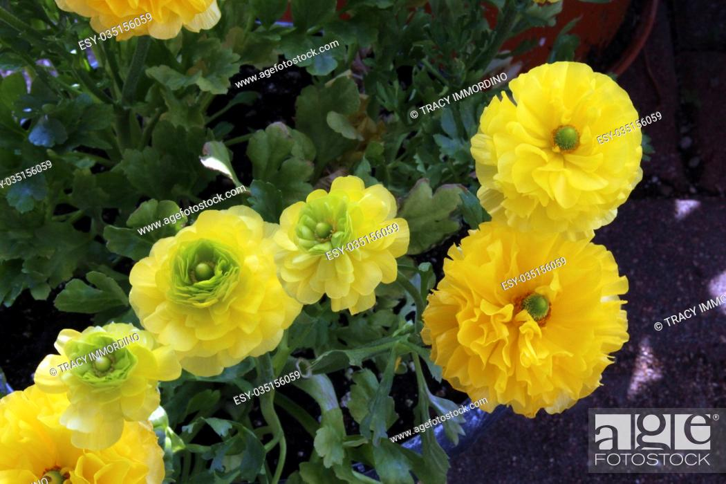 Stock Photo: A cluster of yellow Ranunculus flowers in a pot in full bloom.