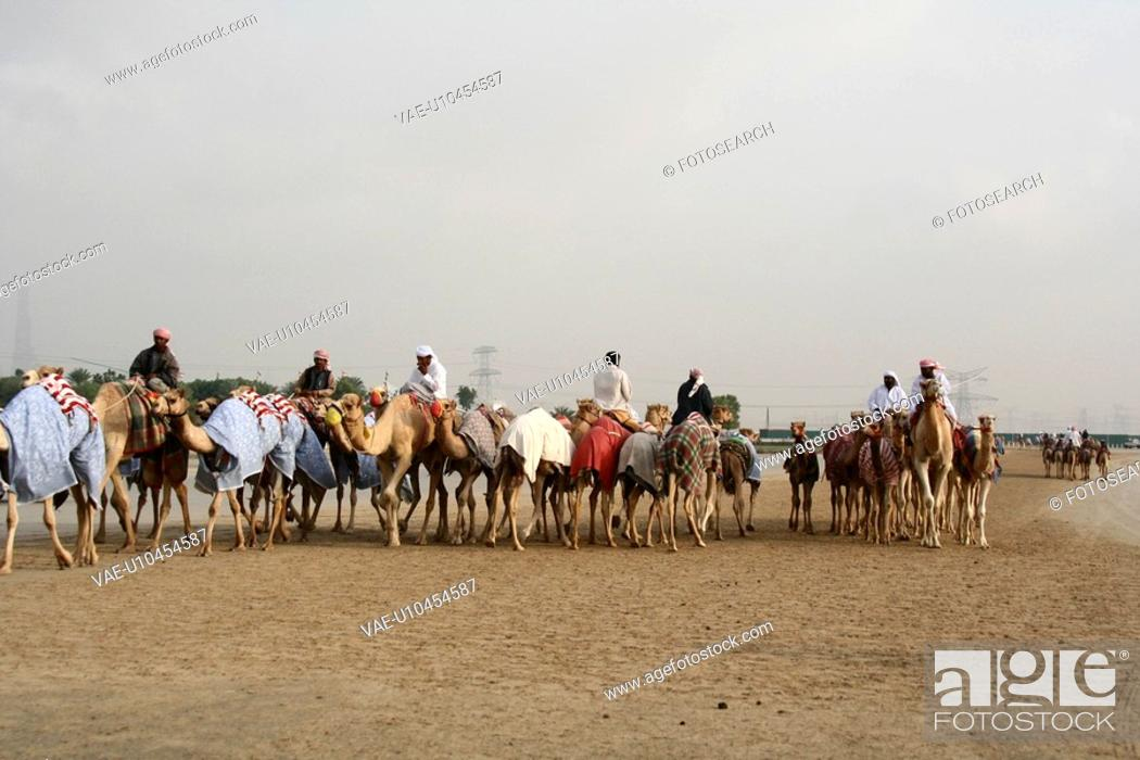 Stock Photo: camels, many, camels.