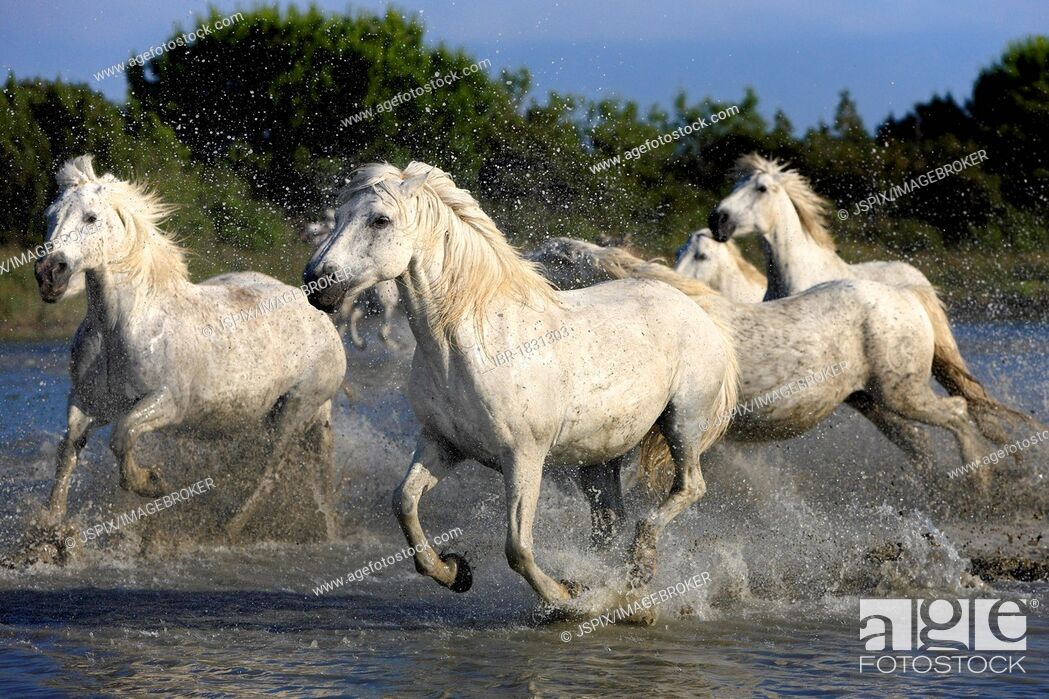 Stock Photo: Camargue horses (Equus caballus), herd, gallopping through water, Saintes-Marie-de-la-Mer, Camargue, France, Europe.