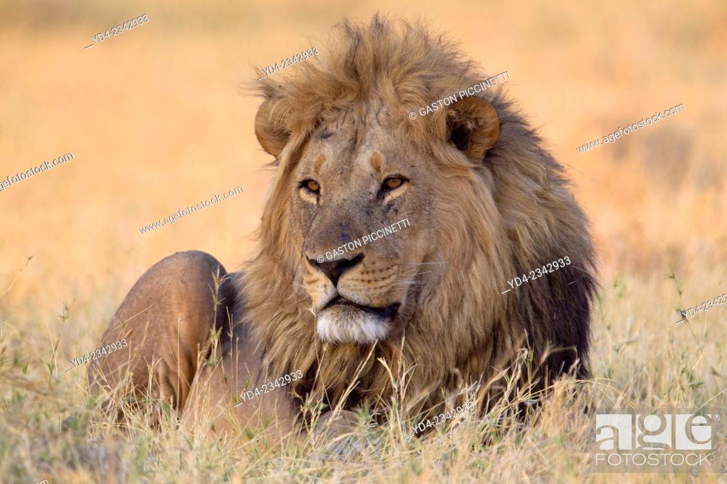 Imagen: African lion (Panthera leo) - Male, Savuti, Chobe National Park, Botswana.