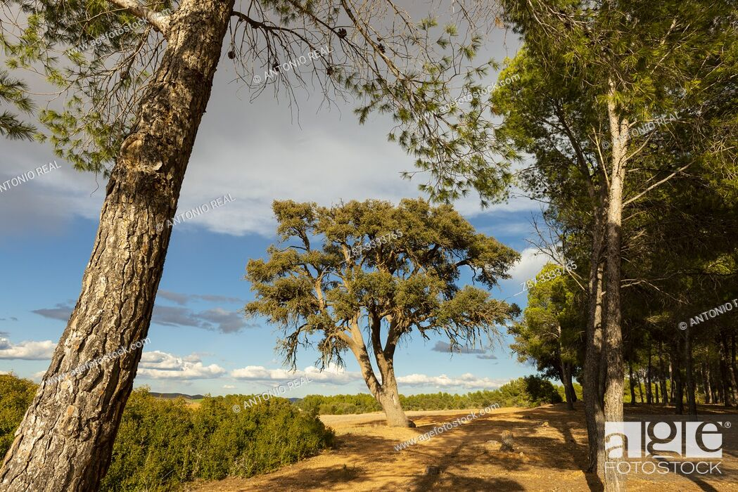 Stock Photo: Encina (Quercus ilex) and Aleppo pine (pinus halepensis). Almansa. Albacete province, Castile-La Mancha, Spain.