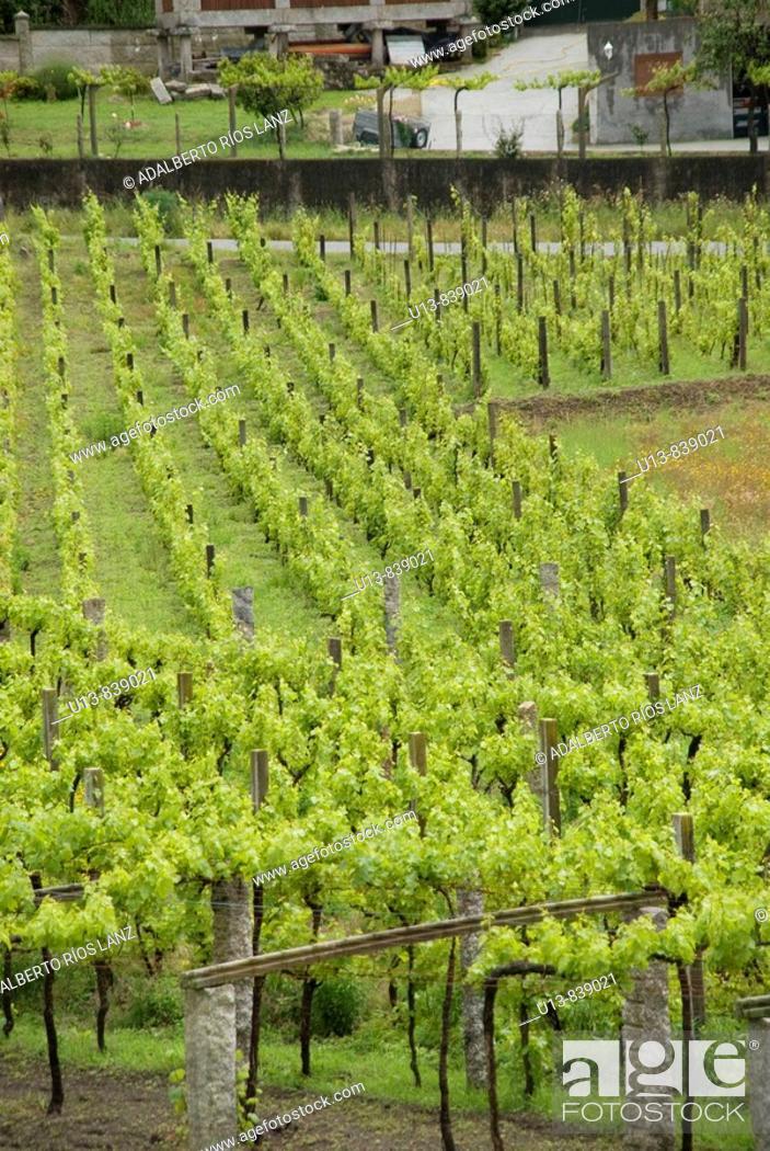 Stock Photo: Albariño Grape Vineyard.