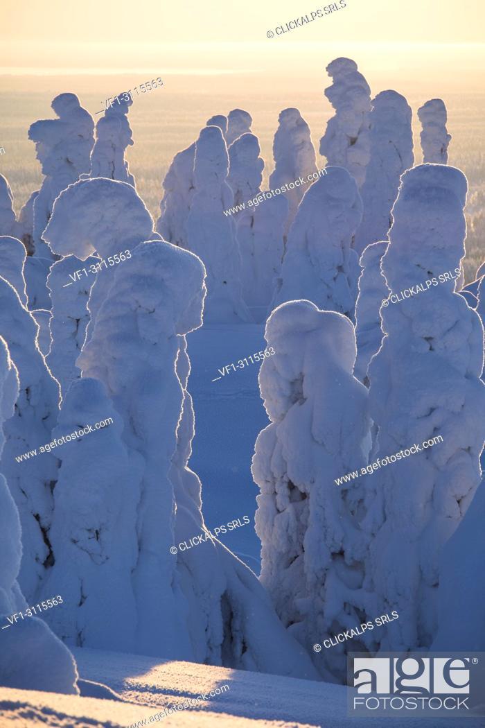 Stock Photo: Frozen trees, Riisitunturi National Park, Posio, Lapland, Finland.
