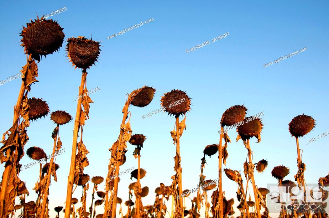Stock Photo: Withered sunflowers on a field, Puy de Dome department, Auvergne, France.