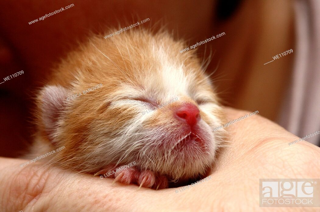 Stock Photo: A 8 day old kitten.