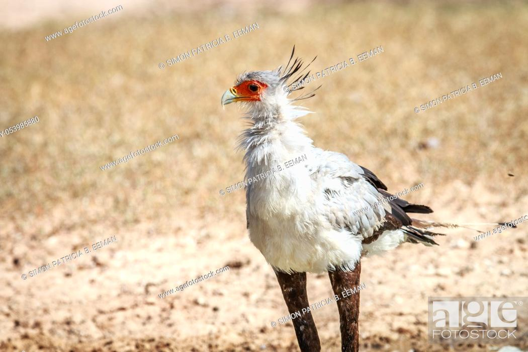 Stock Photo: Secretary bird in the grass in the Kgalagadi Transfrontier Park, South Africa.
