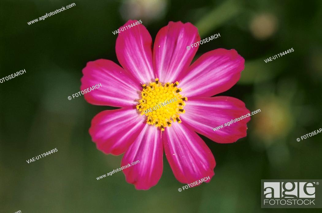 Stock Photo: Pink Cosmos.