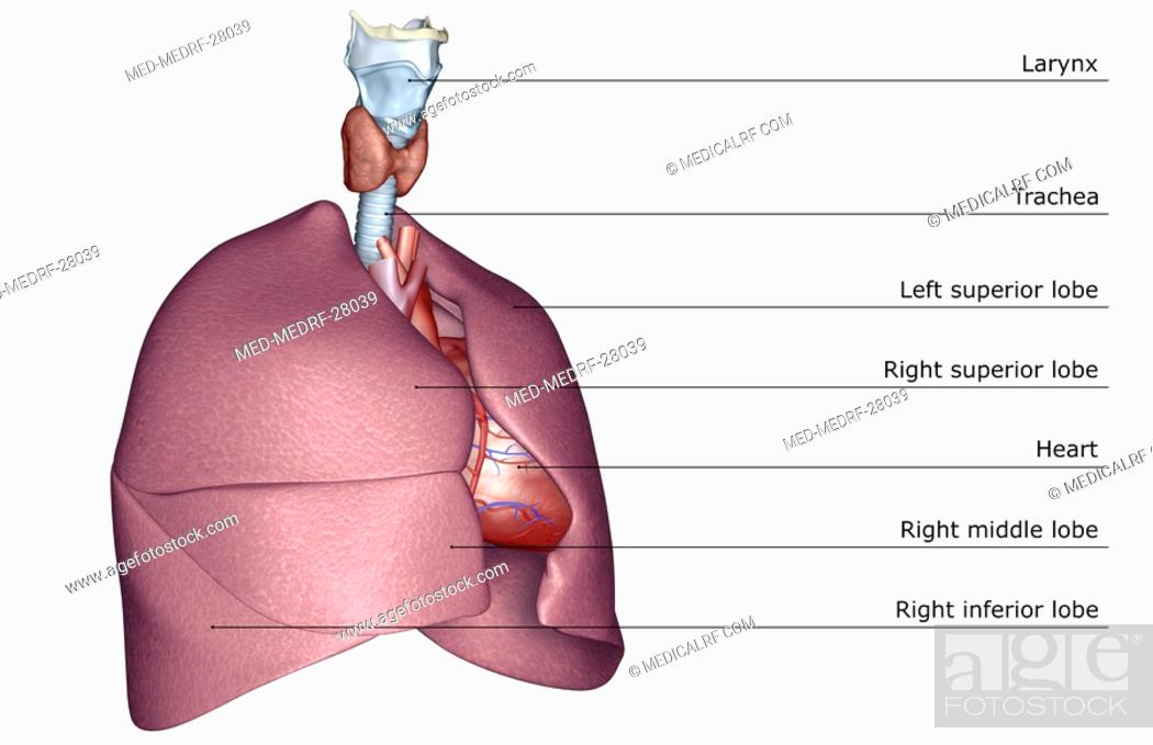 Stock Photo: The respiratory system.
