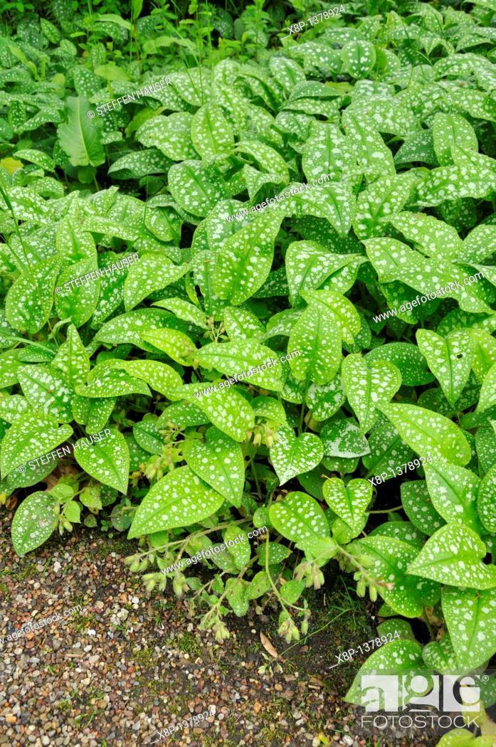 Stock Photo: Lungwort Pulmonaria officinalis.