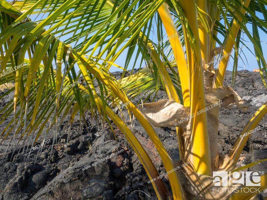 Stock Photo: Coconut Palm (Cocos nucifera) is a large palm with pinnate leaves.