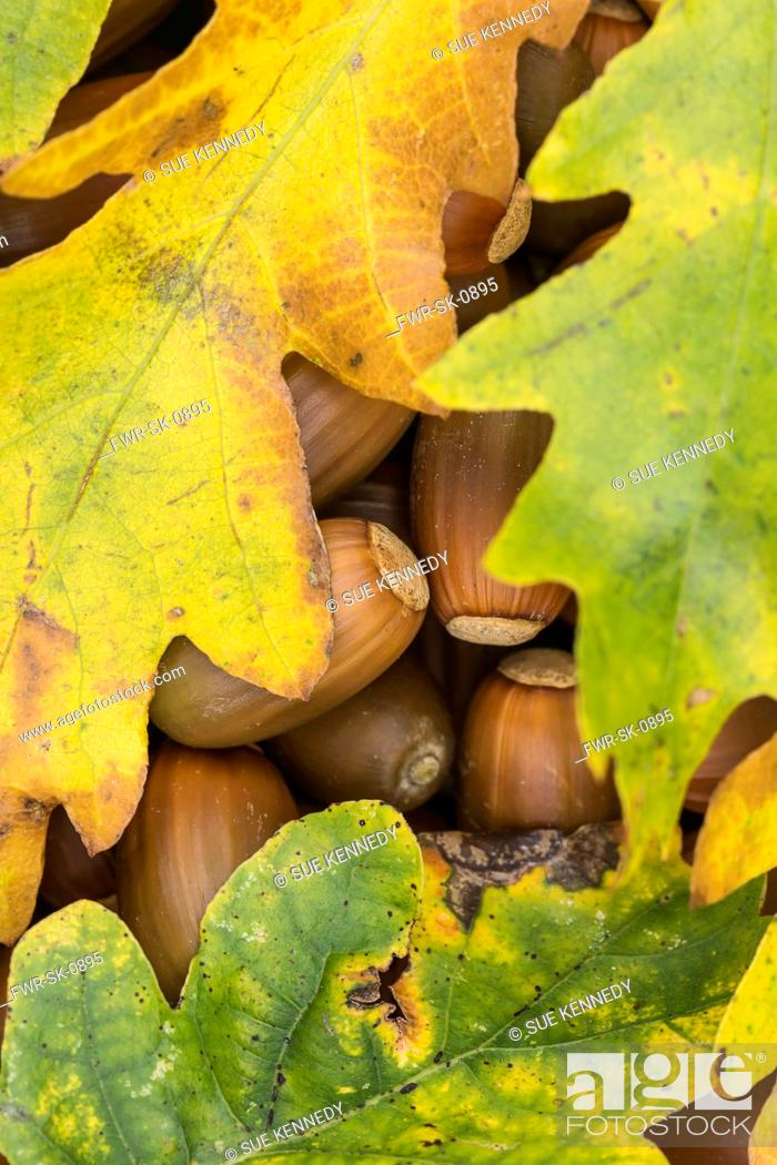 Imagen: Oak, Common oak, Quercus robur, Autumn leaves covering fallen acorns.