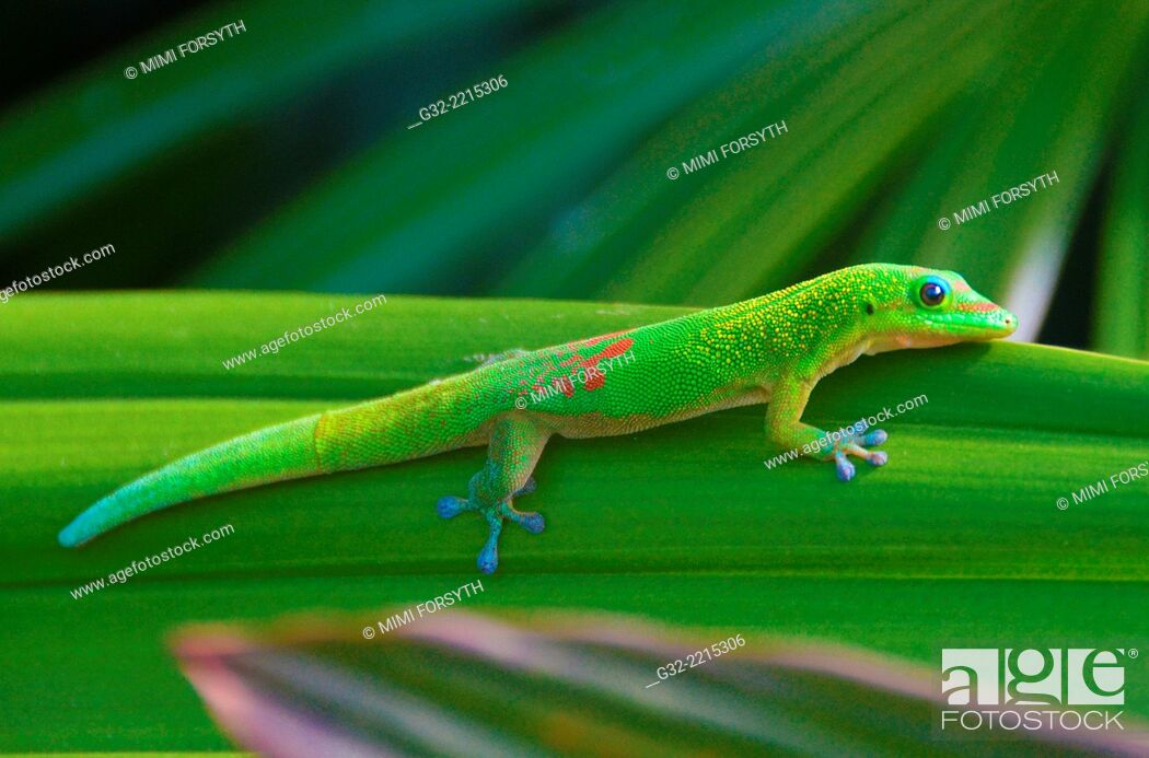 Stock Photo: Gold Dust Day Gecko (Phelsuma laticauda laticauda), native to Madagascar, photographed in Hawai'i.