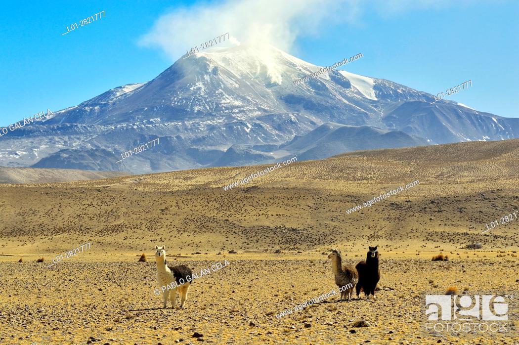 Stock Photo: Alpacas under the Guallatire volcano with fumaroles. Lauca National Park. Norte Grande region. Chile.