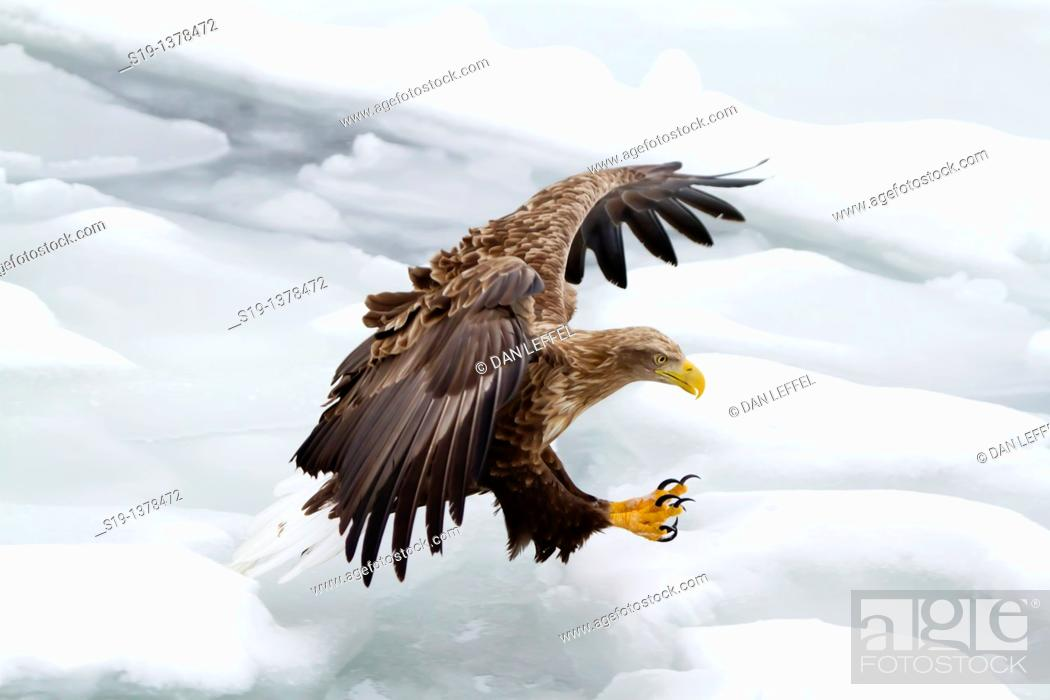 Stock Photo: White-tailed Eagle, Nemuro Channel, Hokkaido, Japan.