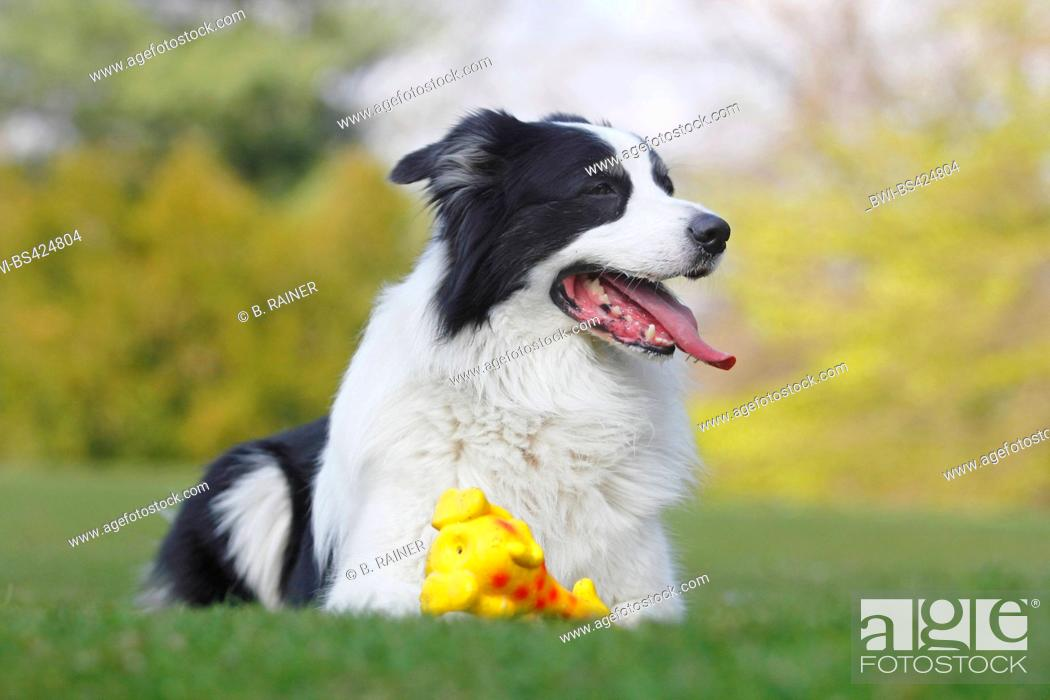 Stock Photo: Australian Shepherd (Canis lupus f. familiaris), six years old male dog lying with a dog's toy in a meadow, front view, Germany.