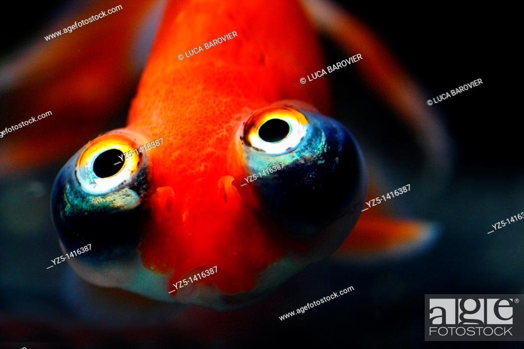 Stock Photo: Bubble eye goldfish close-up.