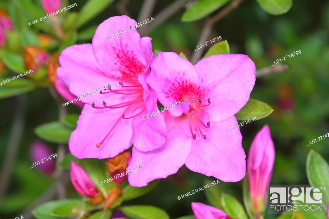 Imagen: Rhododendron (Rhododendron simsii).