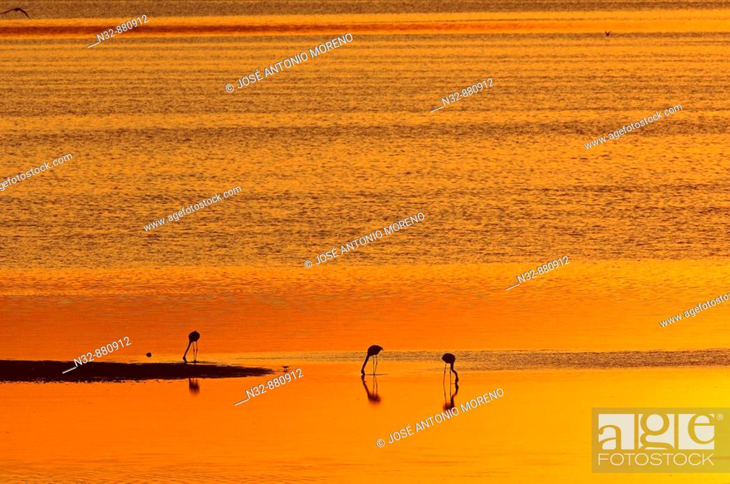 Stock Photo: Greater Flamingo (Phoenicopterus ruber), Fuente de Piedra Lagoon at sunset. Malaga province, Andalusia, Spain.