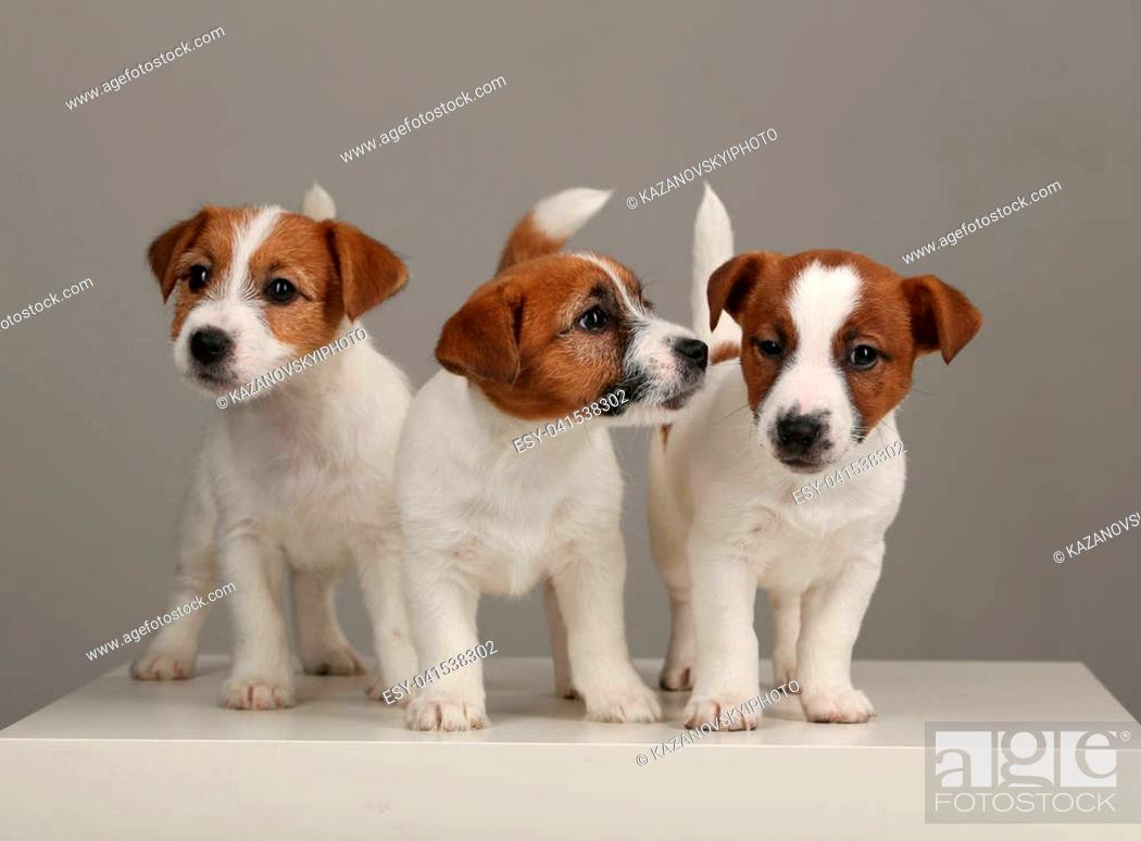 Popular Animals Jack Russell Puppies British Dog Breeds Human S Friend Small Dogs Hunting Dogs Stock Photo Picture And Low Budget Royalty Free Image Pic Esy 041538302 Agefotostock