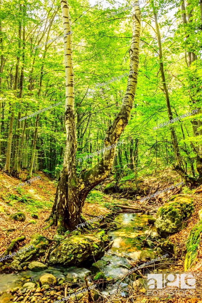 Stock Photo: Stream deep in mountain forest. Fall in Vitosha mountain, Bulgaria.