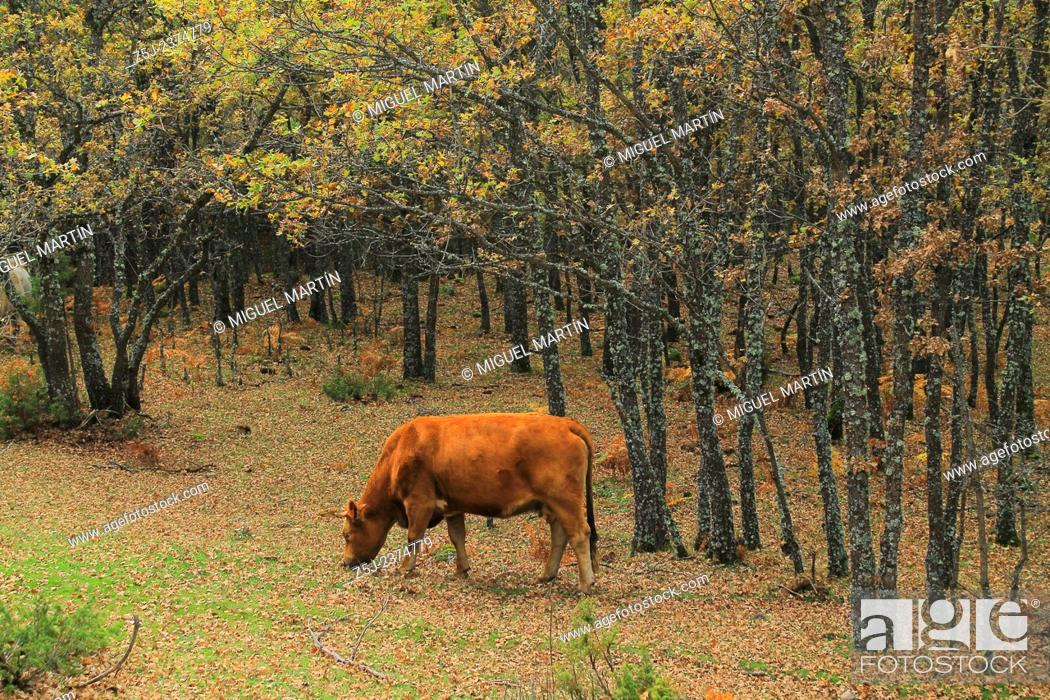 Stock Photo: A cow grazes pleasantly in the oak forests close the Aguilón river, alongside the trekking route leading to the El Purgatorio falls.