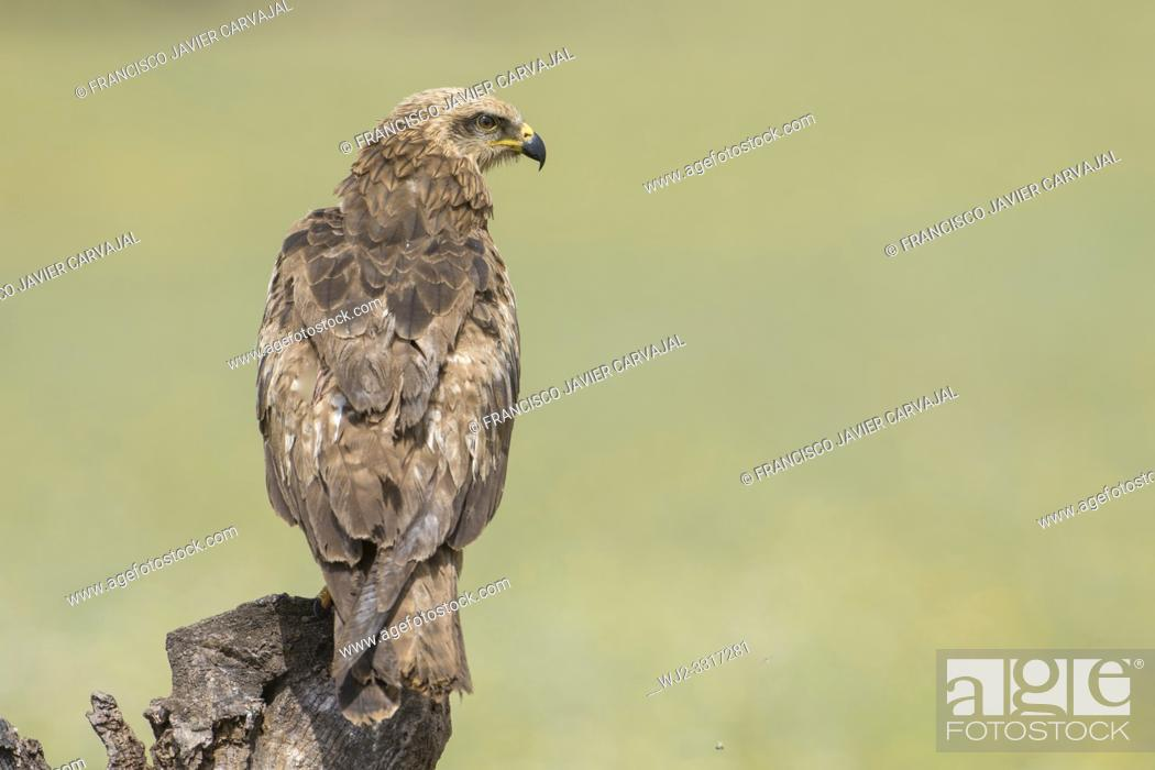 Stock Photo: Black kite (Milvus migrans) in a meadow in Extremadura, Spain.