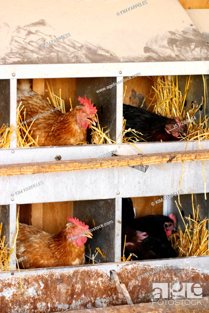 Stock Photo: Free range chickens at organic farm, hens in nesting boxes. Grayslake, Illinois. USA.
