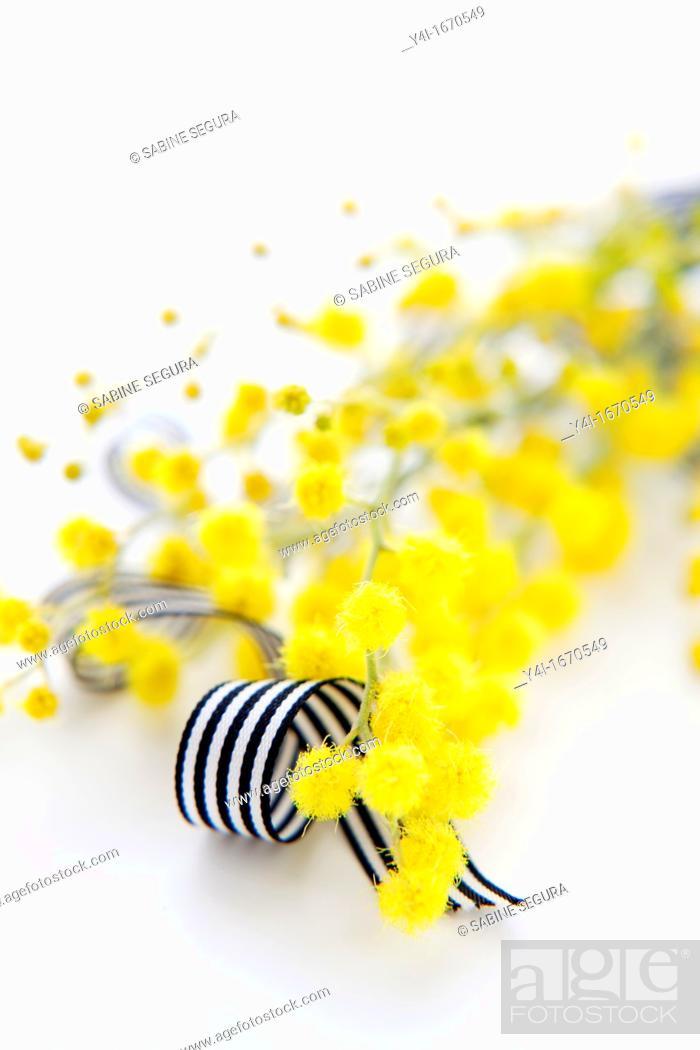 Stock Photo: Yellow Mimosa and black and white ribbon.