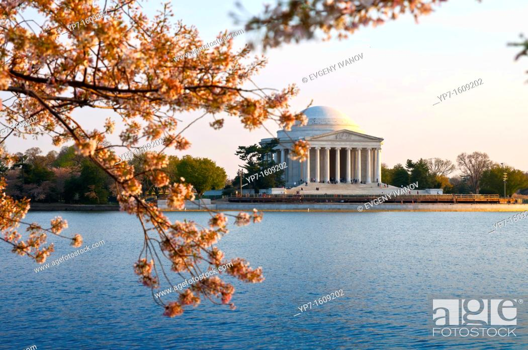 Stock Photo: Jefferson Memorial In Washington DC with cherry blossom tree.