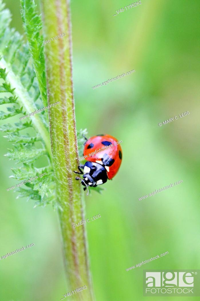 Stock Photo: Seven-spotted Ladybird Beetle, Beetle on stem of an umbellifer  Seven-spot ladybird, coccinella septempunctata head on shot.