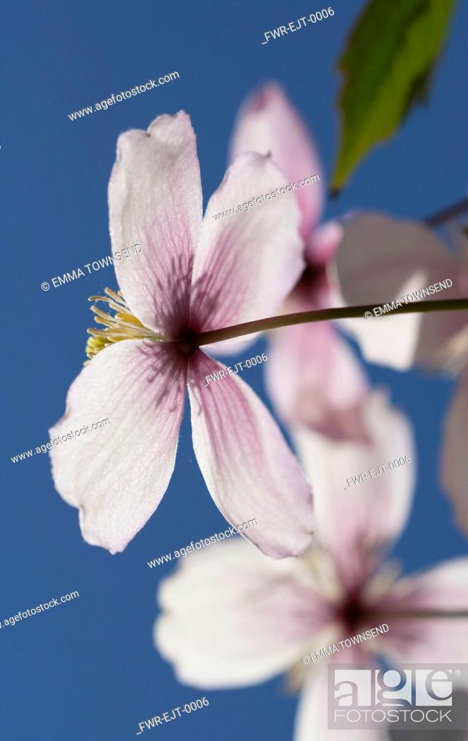 Stock Photo: Clematis, Clematis montana.
