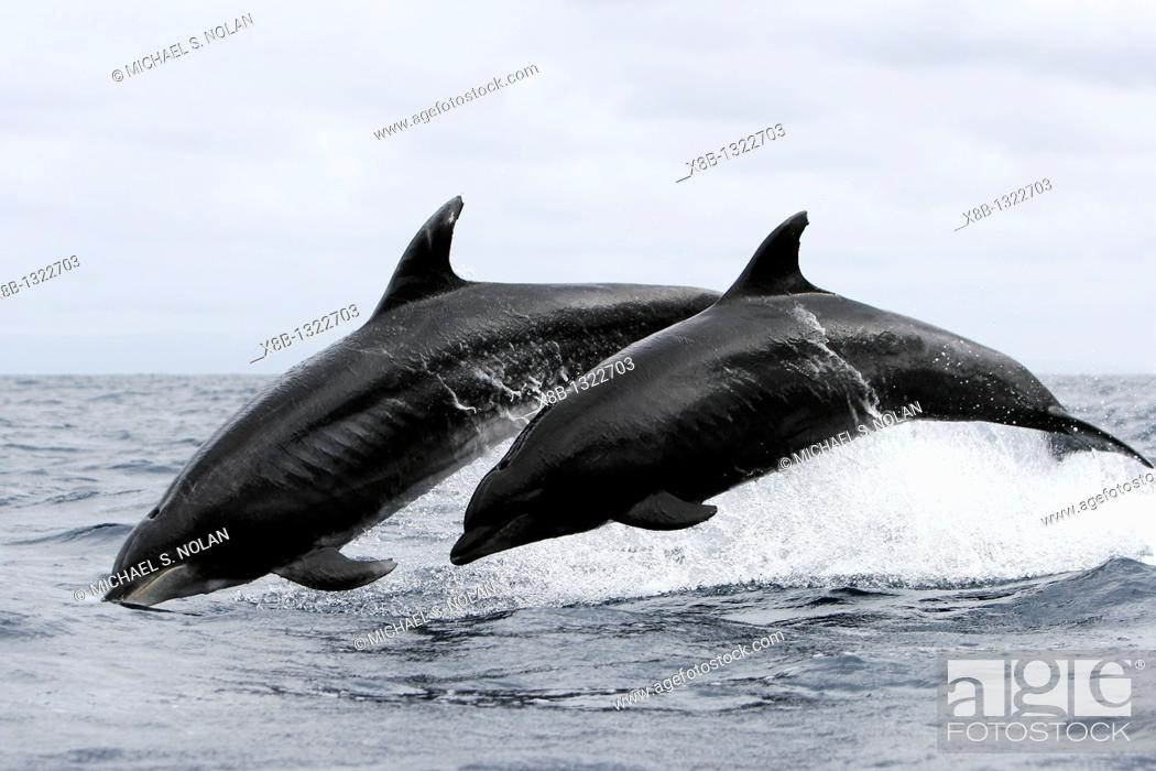 Stock Photo: Offshore Bottlenose dolphin pair Tursiops truncatus leaping near Catalina Island in southern California, USA  Pacific Ocean.