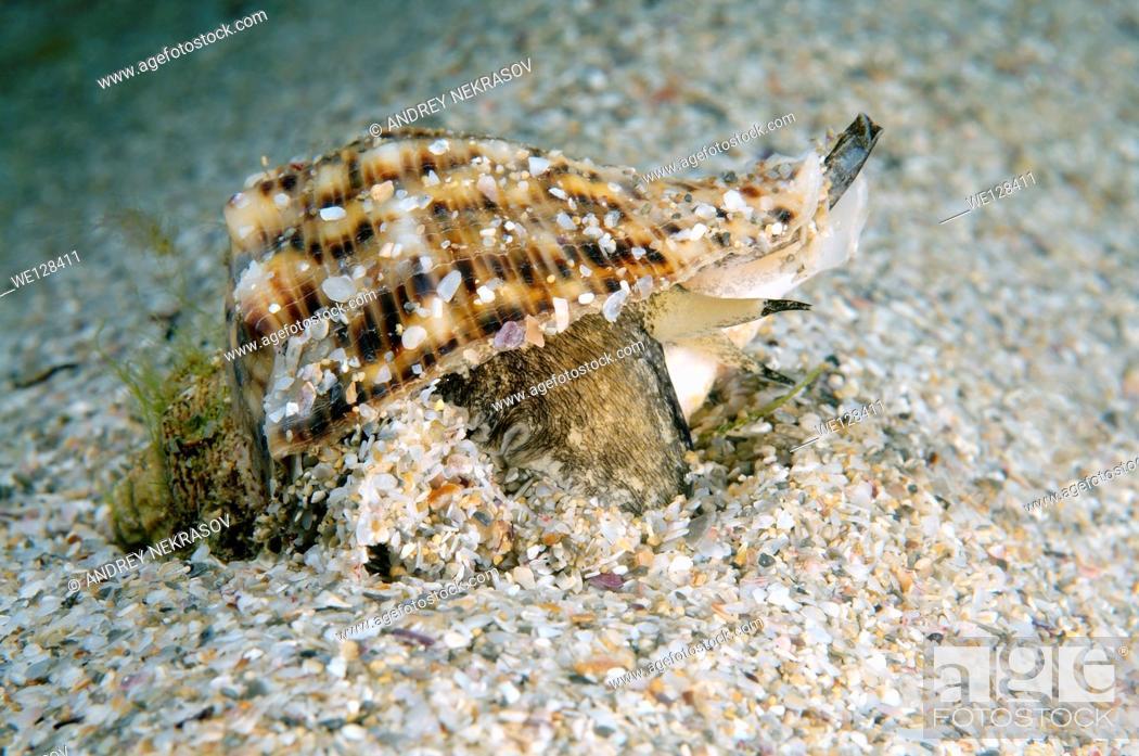 Stock Photo: veined rapa whelk (Rapana venosa) Black sea, Crimea, Ukraine, Eastern Europe.