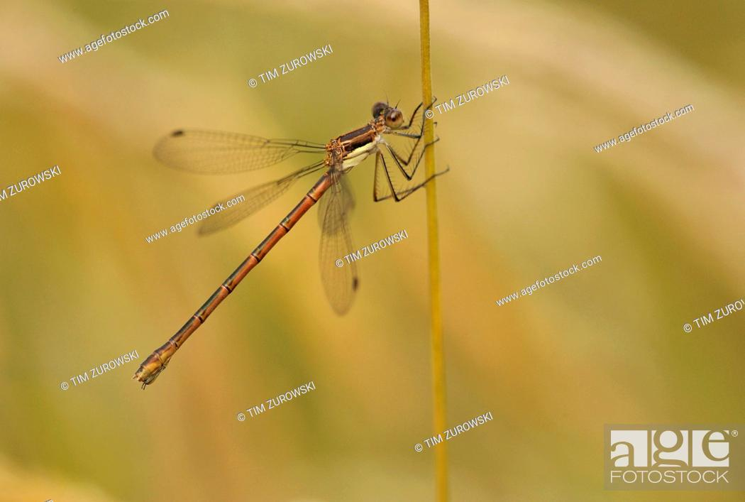 Stock Photo: Female Northern Spreadwing Lestes disjunctus at Hamilton Marsh, Qualicum BC.