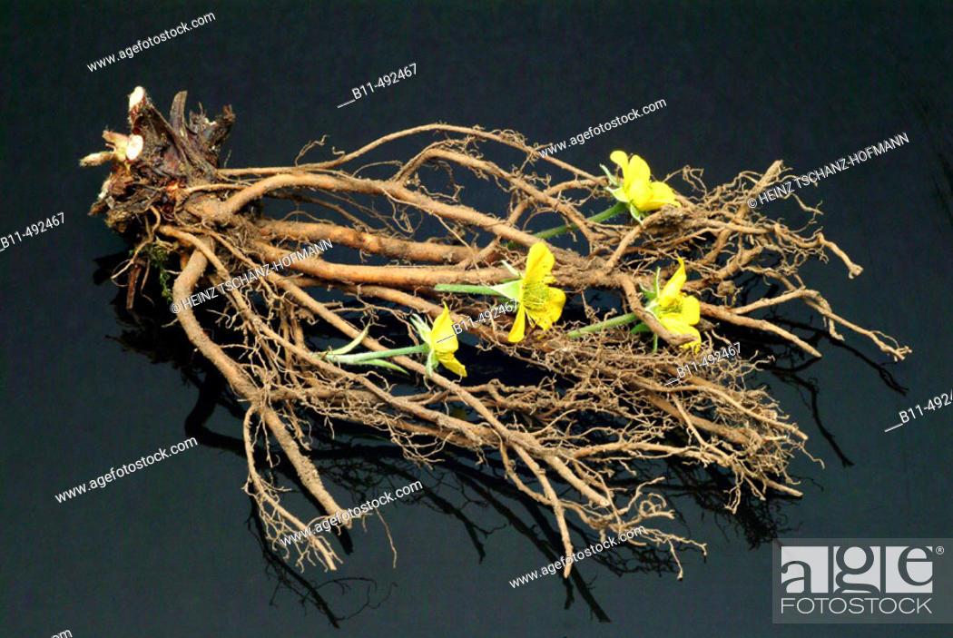 Stock Photo: Potentilla erecta.