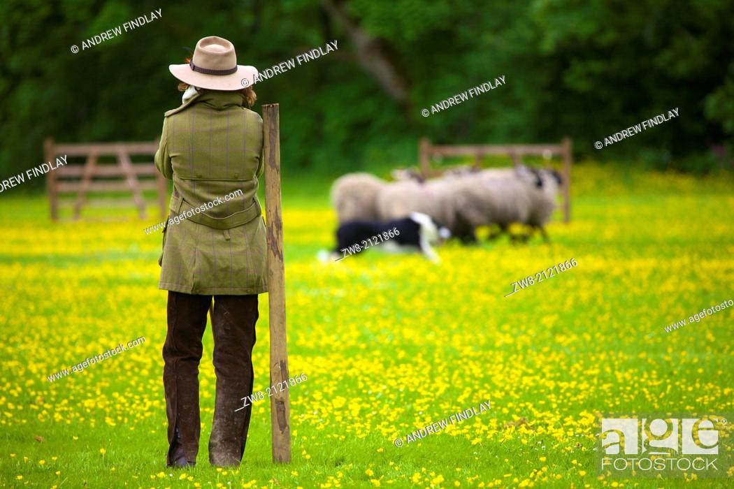 Stock Photo: Shepherdess competing at Alston Sheep Dog Trials Cumbria England United Kingdom Great Britain.