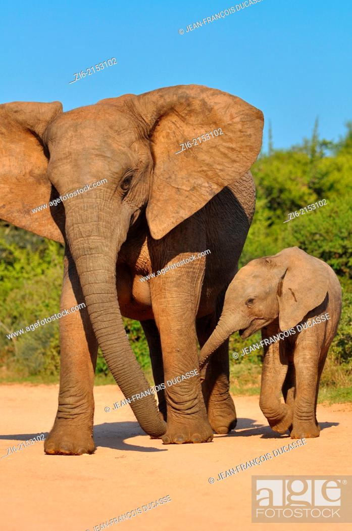 Stock Photo: African elephants (Loxodonta africana), mother and baby elephant, walking on the gravel road, Addo Elephant National Park, Eastern Cape, South Africa, Africa.