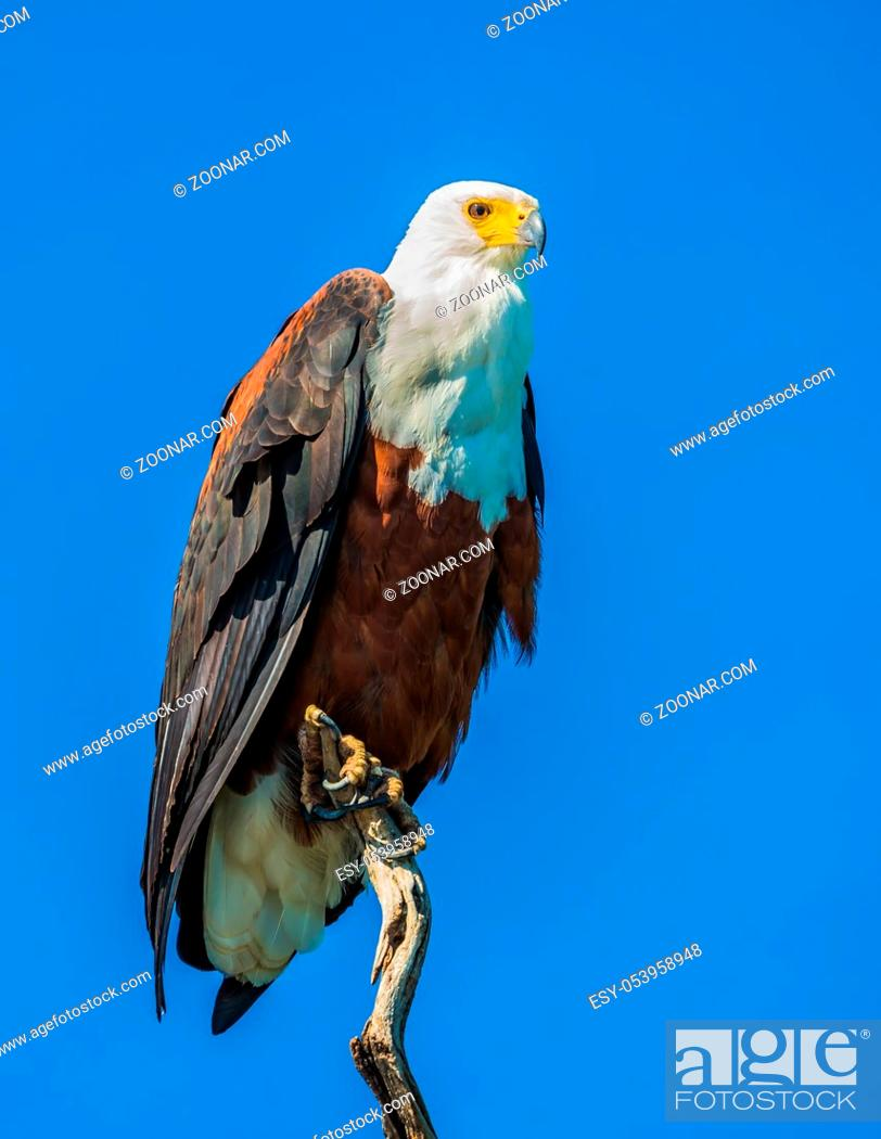 Stock Photo: African fish eagle on the background of bright blue sky. The concept of extreme and exotic tourism. Chobe National Park on the Zambezi River, Botswana.